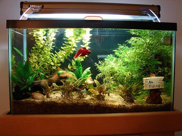 3f3b08faeee734 Кои са най-подходящите аквариумни рибки за начинаещи